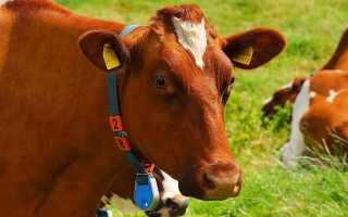 Возможности GPS трекера для коров