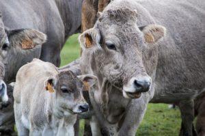 gps трекер для крс коров